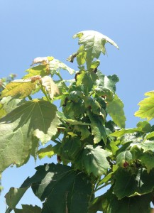 Cover photo for Maple Nursery IPM Update
