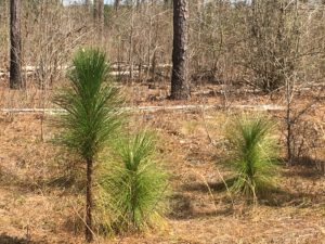 Longleaf Pine Seedlings