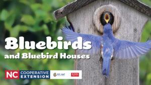 bluebird and house