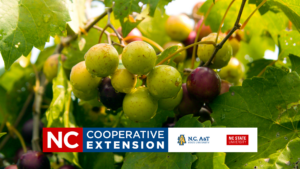 Cover photo for Muscadines in the Home Garden
